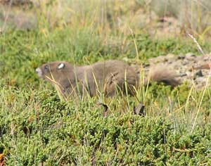Young Golden Marmot