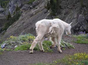 Mountain Goat Ambling
